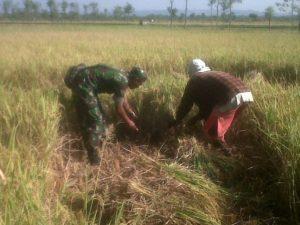 Babinsa Dampingi Petani Panen Padi di Kwanyar Bangkalan