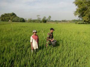 Babinsa Koramil 01 Kota  Bangkalan Bantu Petani Memupuk Padi