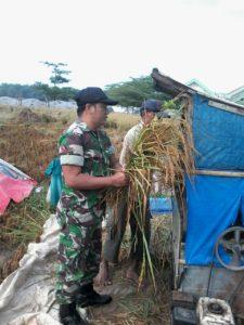 8. Babinsa Tanah Merah Turun ke Sawah Bersama Petani Panen Padi 1