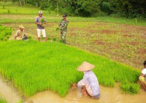 Babinsa Ramil Kokop Bangkalan, Bersama Petani Semai Benih Padi