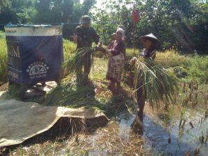 Program Sergab, Babinsa Ramil Bangkalan Turun Ke Sawah Panen Padi Petani