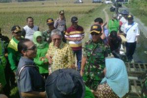Serapan Gabah Petani Pada Panen Raya Di Wilayah Madiun  (6)