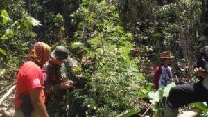 B. 08 Satgaspamtas Yonmek 516 CY Temukan Ladang Ganja Di Perbatasan RI - PNG (1)