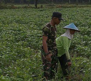 2. Babinsa Dampingi Petani Rawat Tanaman Kedelai dan Kendalikan Gulma