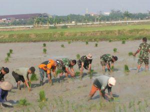 4-swasembada-pangan-personel-kodim-0830-su-bersama-petani-tanam-padi