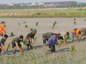 4-swasembada-pangan-personel-kodim-0830-su-bersama-petani-tanam-padi-a