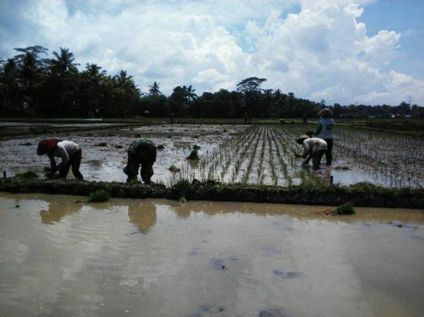 babinsa-desa-purwasari-dampingi-m-t-1-poktan-sumber-jaya-2