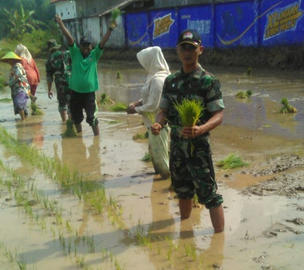 1-babinsa-koramil-tanah-merah-bangkalan-bersama-masyarakat-tanam-padi-a