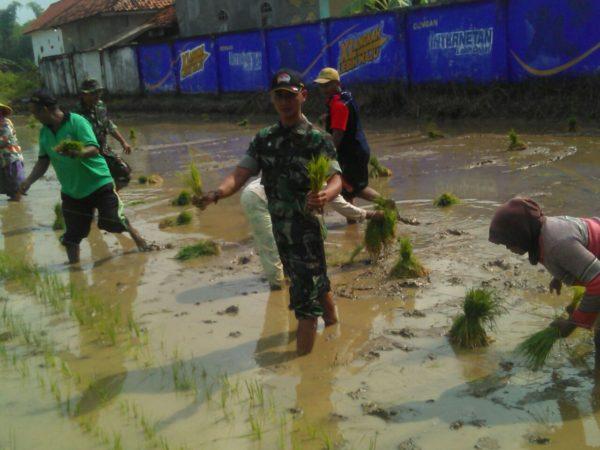 1-babinsa-koramil-tanah-merah-bangkalan-bersama-masyarakat-tanam-padi