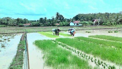babinsa-desa-adimulya-ndaut-bareng-petani-1