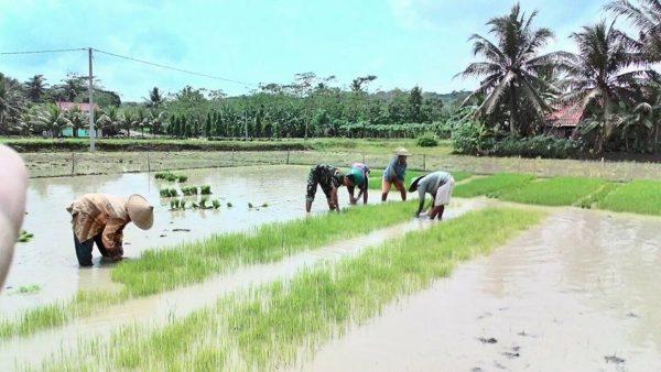 babinsa-desa-adimulya-ndaut-bareng-petani-2