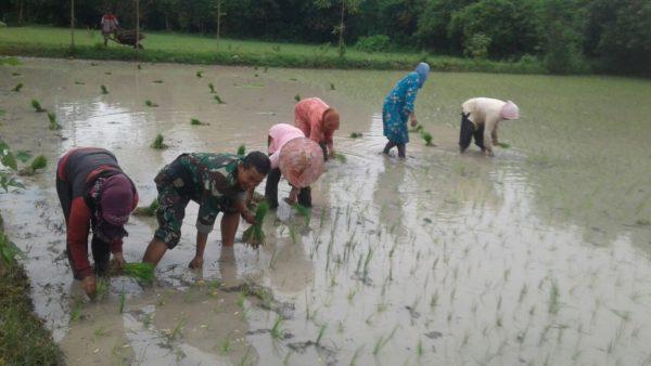 4-sukseskan-swasembada-pangan-babinsa-bangkalan-intens-bantu-petani-ke-sawah-b