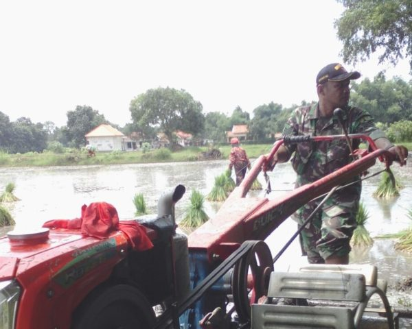 4-sukseskan-swasembada-pangan-babinsa-bangkalan-intens-bantu-petani-ke-sawah-d