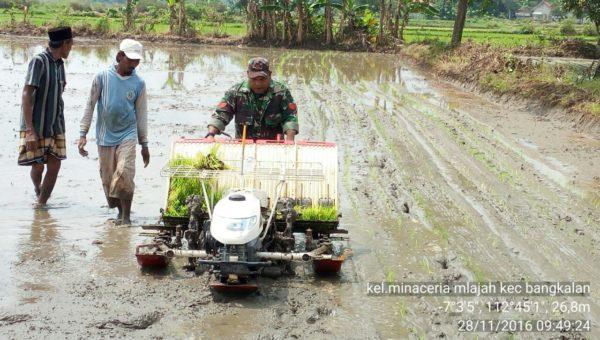 4-sukseskan-swasembada-pangan-babinsa-bangkalan-intens-bantu-petani-ke-sawah